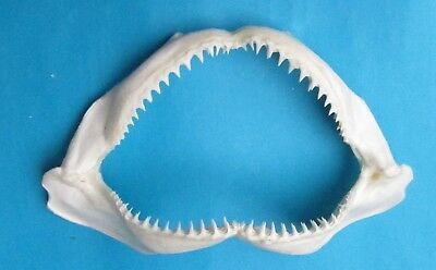 "10"" White Blacktip shark Jaw mouth teeth taxidermy for  Scientic study SD-63"
