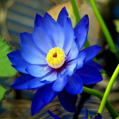 5pcs Blue Lotus Seeds Aquatic plants Water Lilly nice fragrance  outdoor ponds