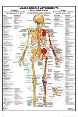 Human Body - Major Muscles Attachments Posterior-Poster-Laminated available-9...