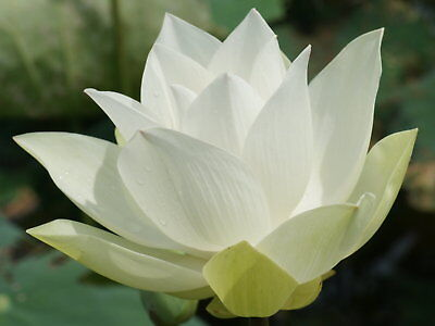 5pcs White Lotus Seeds Snow White Aquatic plants Water Lilly nice fragrance