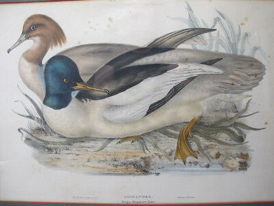 Antique 19th c Hand Colored Gould Lithograph Goosander Pair Merganser Ducks yqz