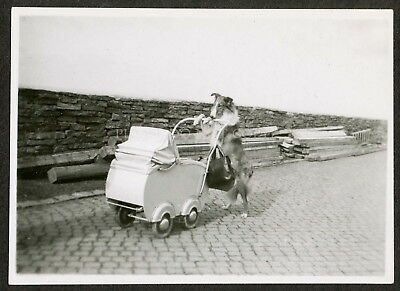 C. 1935 photo Collie Dog pushing a Baby Carriage
