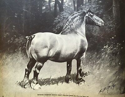 IMPORTED CHAMPION Belgian Draft HORSE  OMER by George Ford Morris ART PRINT 1952