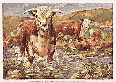 1925 ART Print CATTLE Bovine COW Hereford BEEF ENGLISH ORIGIN