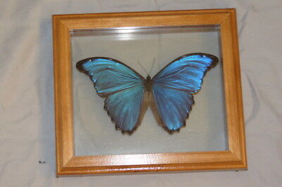 Real Butterfly Blue Morpho Hand Made Frame