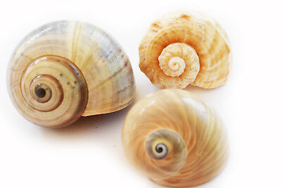 """(3) Large Hermit Crab Shells Assorted Natural Seashells 2-3"""" (1.5-2"""" Opening)"""