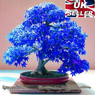 20 Seeds Japanese Rare Plant Blue Maple Tree Bonsai Acer Tree LIMITED OFFER!! UK