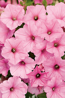 Flower, Petunia  50 Seeds Fragrant  For Gardens Or Pots...  FREE Shipping