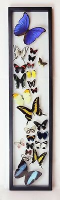 "24 Real Butterflies, Mounted In Wood Frame 32.5"" X 7.5"" Inches, Beautiful..."