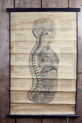 "Vintage ~ c1913 ~ ""Dr. A. A. Gregory"" ""Spinal Nerves"" ~ Educational Poster"