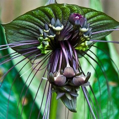 10pcs Funny Rare Black Bat Tacca Chantrieri Whiskers Flower Seeds Garden Plants