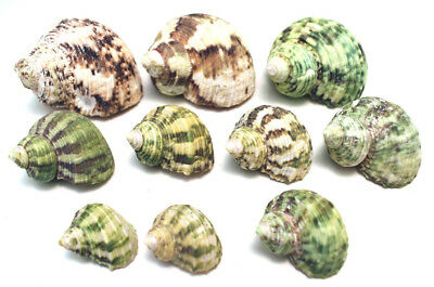 """10 Hermit Crab Changing Shell Set -Small 3/8""""-7/8"""" opening -Select Turbo Shells"""