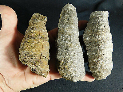 A Lot of Three BIG! Agatized 400 Million Year Old HORN Coral Fossils! 820gr