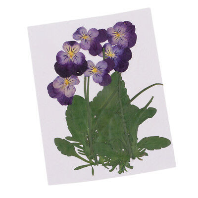 12Pc Multiple Pressed Dried Flowers Real Violet for Arts Crafts Scrapbooking