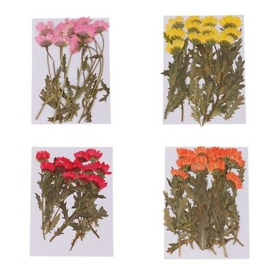 12Pcs Pressed Dried Flowers Chrysanthemum for Arts Crafts Scrapbooking Decor