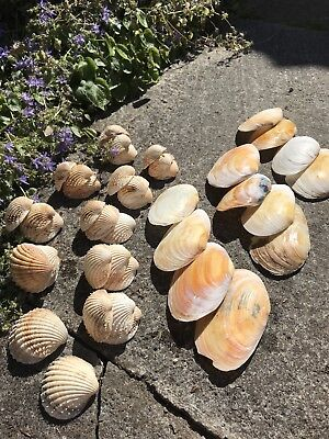Shell Bundle 50/50 Clam And Cockle
