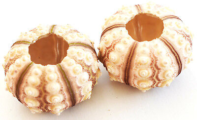 "2 Sputnik Sea Urchin Shells 2-2.5"" Beach Crafts Ocean Art Coastal Nautical Deco"