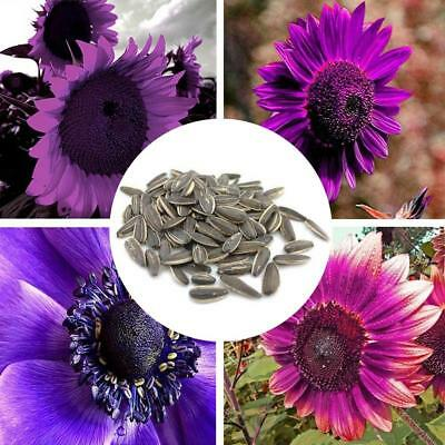 100 Pcs Purple Sunflower Flower Seeds Mix Colors Perennial Potted Bonsai