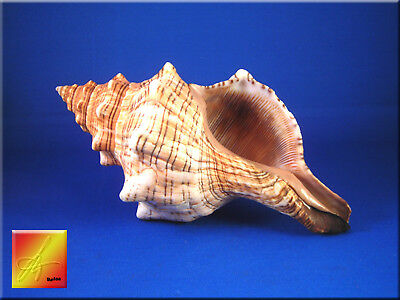 "One Large Striped Fox Conch Shell (Trapezium Horse Conch) 6-7"" Beach Wedding"