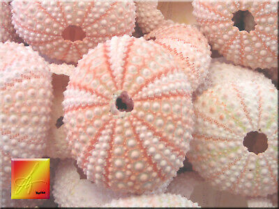 15 Pink Sea Urchin Seashells Shells Beach Wedding Craft Nautical Decor Airplant