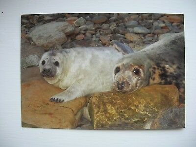 Orkney – Grey Seal – mother & pup. (Charles Tait)