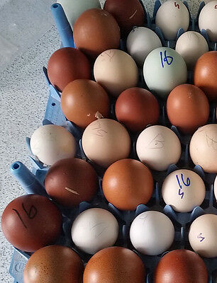 42 PUREBRED Awesome Rare Breeds Hatching Eggs! Greenfire! POTLUCK! 8.00 SHIP!