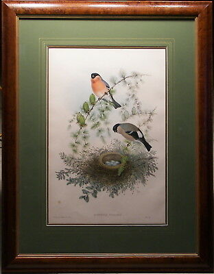John Gould 1862 Original Lithograph Bullfinch & Nest Birds of Great Britain