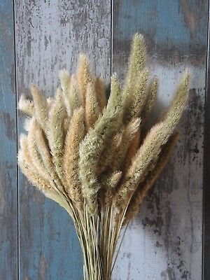 Natural Dried Setaria Grass 50 Stems Harvest Decor Floral Supplies 20""