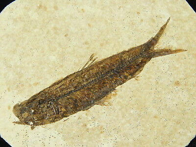 A Small 50 Million Year Old Restored Fish Fossil Found in Wyoming! 43.1gr