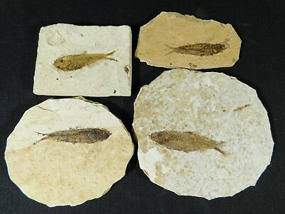 Lot of FOUR! Small 50 Million Year Old Restored Fossil Fish From Wyoming 262gr e