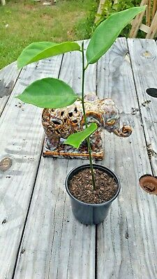 "Picture of Jackfruit Plant - Non-GMO Organic Healthy Strong Root Live Plant Fit 4"" Pot"