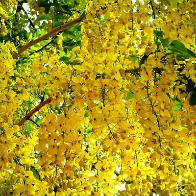 60 Golden Shower Tree Seed Rare Yellow Flower Cassia Fistula Tropical Tree Fresh