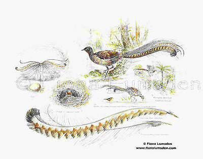 Superb Lyrebird Study - Limited Edition A3 Giclee Print by Fiona Lumsden