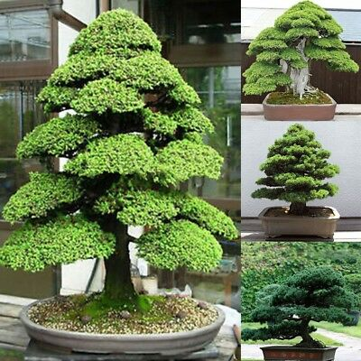 20PCS Sacred Japanese Cedar Seeds Bonsai Tree Seeds Indoor Plant Home Garden