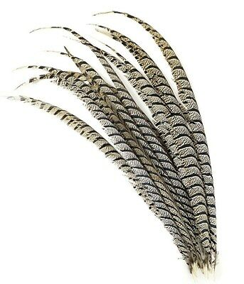 """5 Pieces Lady Amherst CENTER Pheasant Feathers 30-40"""" Zebra-Look Halloween/Craft"""