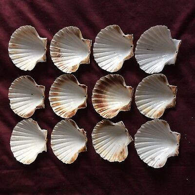 12 Large Scallop Shells