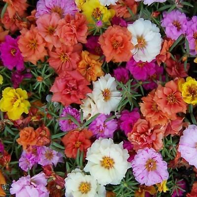 Flower - Portulaca Grandiflora Double Mix - appx 3000 seeds - Moss Rose