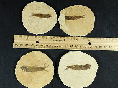 Lot of FOUR! Small 50 Million Year Old Restored Fossil Fish From Wyoming 196gr e