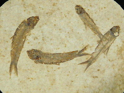 A School Of FOUR! 100% Natural 50 Million Year Old Fossil Fish Wyoming 161gr e