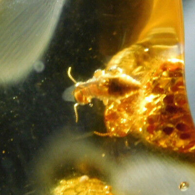 A 90 Million Year Old! TERMITE Fossil in Polished Fossil AMBER Colombia 5.01gr e