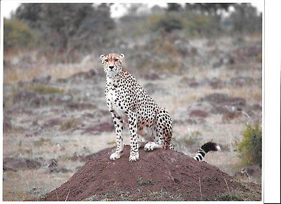 SALE - Cheetah - African Wildlife Pro Color Photos - 8.5 x 11 Min Qty 12 photos