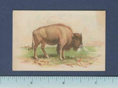 1890's Dwight Cow Brand Soda ~ 25 Card Series ~ Buffalo (Bison Americanus)