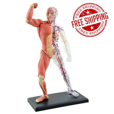 New 4D Anatomical Master Human Muscles Model Medical Educational Teaching Tool