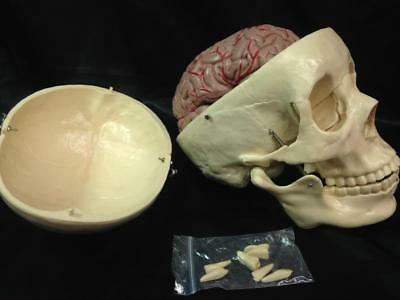 HUMAN ANATOMY MODEL: Skull with 8 Piece Brain, Removable Teeth,Movable Jaw, 1:1