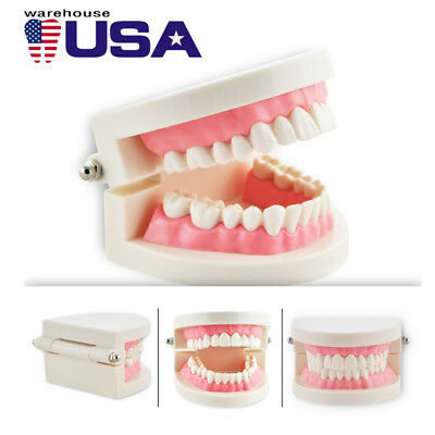 US Dental Teaching Study Adult Standard Typodont Demonstration Teeth Teach Model