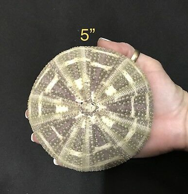 """Urchin Shells 5"""" REALLY GIANT SIZE!!"""