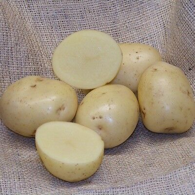 First Early Scottish Certified Seed. Seed Potatoes DUKE OF YORK