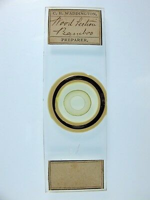 Antique Microscope Slide by Charles Waddington. Wood Section. Bamboo.