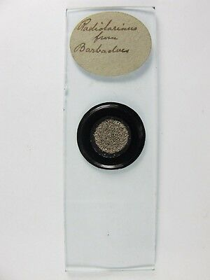 Antique Microscope Slide. Radiolaria from Barbadoes.