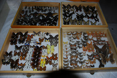 Total Collection, Moths, Butterflies, 100s of swallowtails, 22 drawers and case